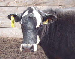 Cow with mandatory RFID tag