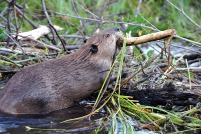A beaver building his hut